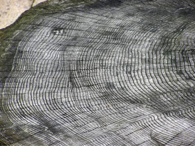 Tree rings show record of newly identified extreme solar activity event