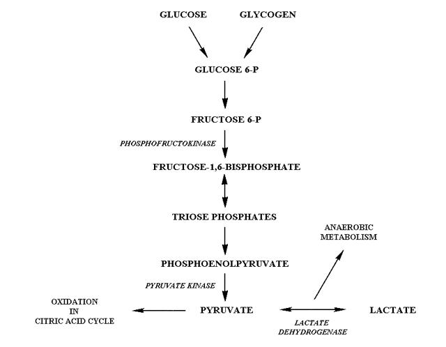 Glycolysis  Metabonomics Celiac Disease Foundation