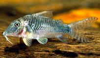Jenis Ikan Corydoras stenocephalus