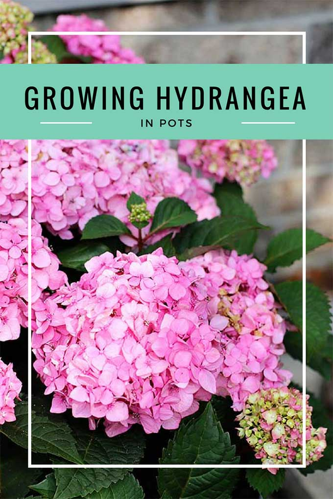 How to grow hydrangea in planters