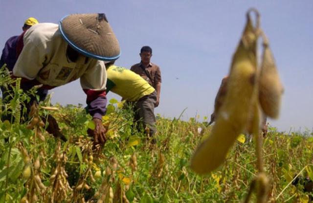 Dukung Program Pajele, Distannak Abdya Kembangkan Jagung 1000 Ha