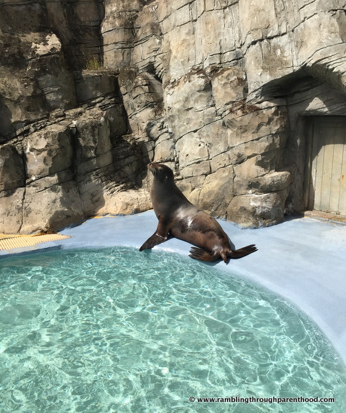 Sea lions at Knowsley Safari