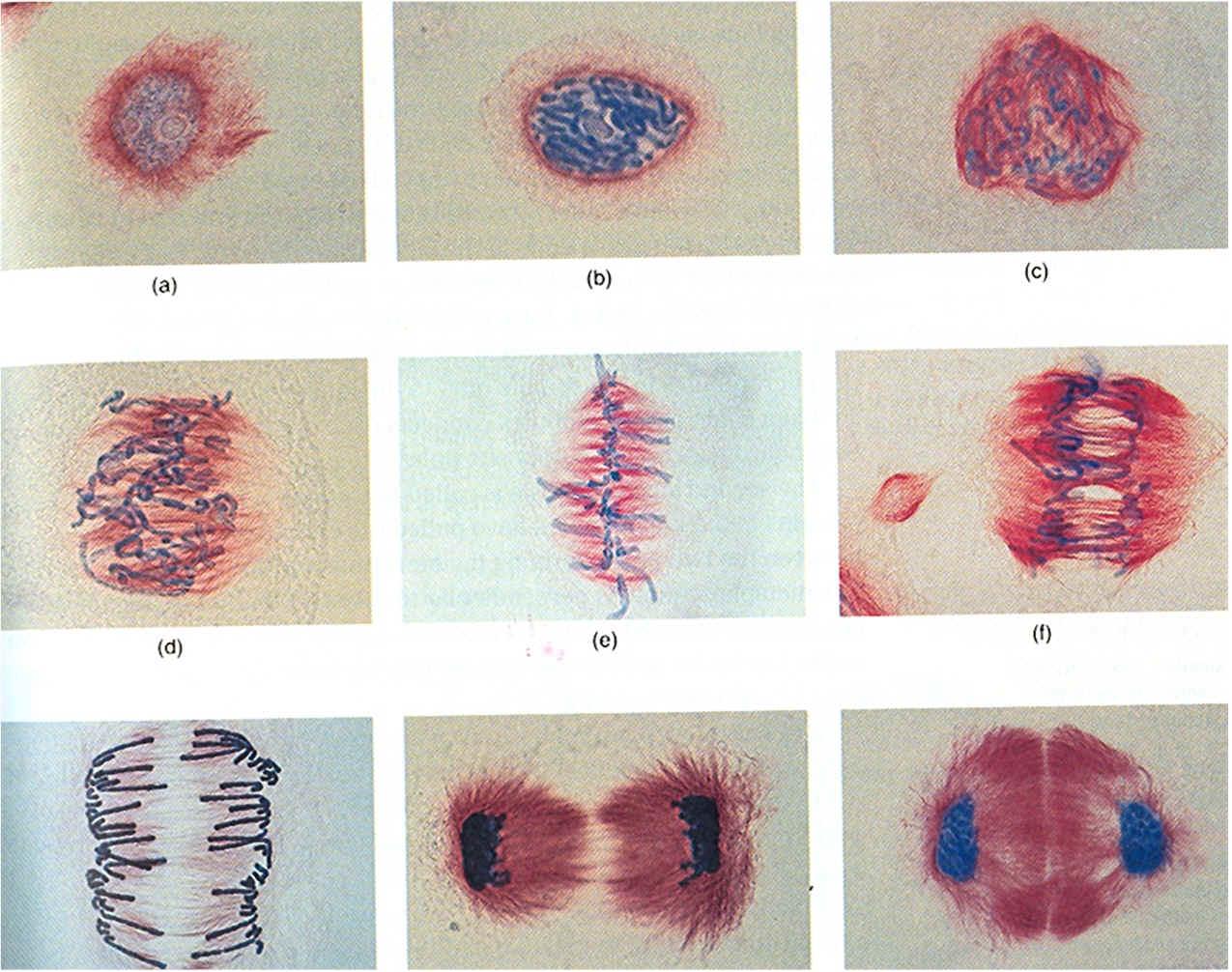 Bloggin About Bio In General Mitosis