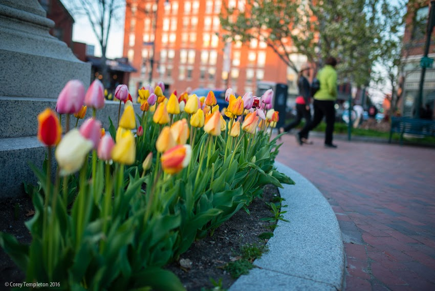 Portland, Maine May 2016 photo by Corey Templeton. Tulips in a pleasant variety of colors in Longfellow Square.