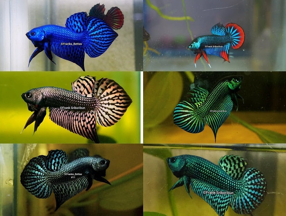 Ikan Cupang Alam - Wild Betta - Ikanhiasku.net