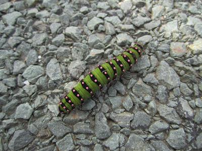 Pavonia pavonia - Emperor Moth caterpillar