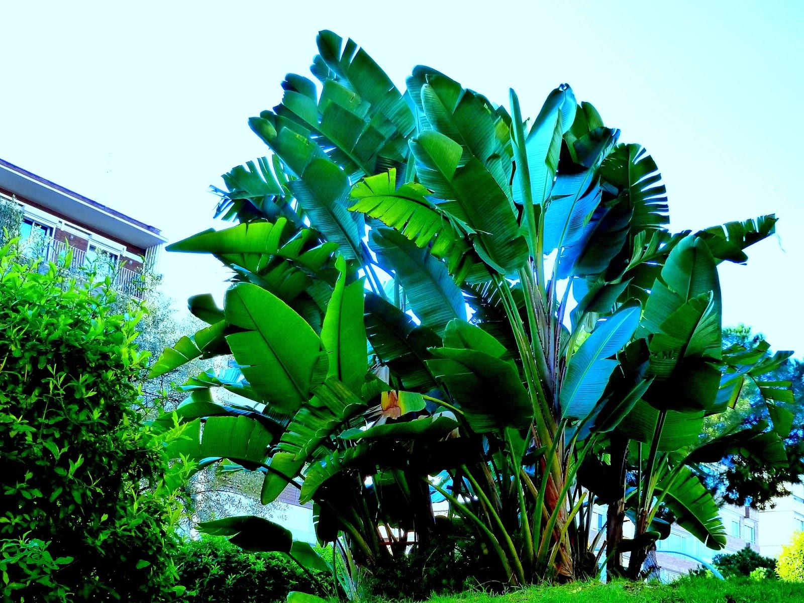 Strelitzia augusta