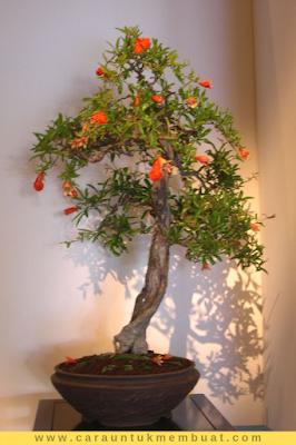 Bonsai Delima 19