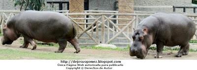 Foto de Hipopótamos caminando en el Parque de las Leyendas. Foto de hipopótamos de Jesus Gómez