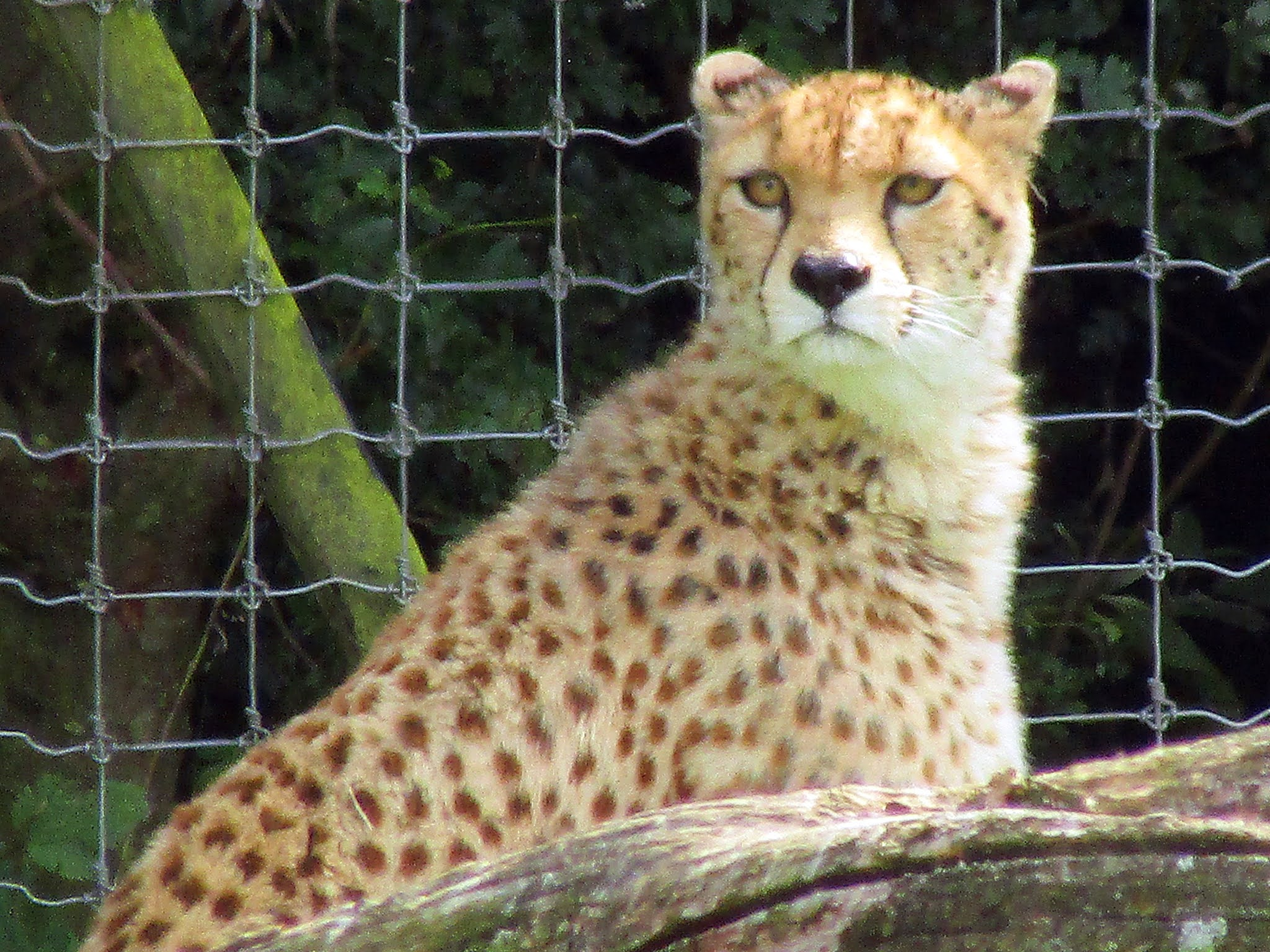 A photo of a cheetah at Whipsnade Zoo.