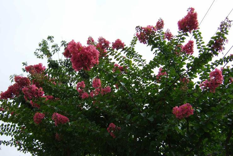 賑やかに咲き始めたサルスベリ