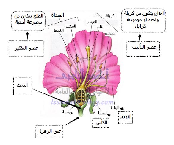 تركيب الزهرة - الكأس - التويج - الطلع - المتاع