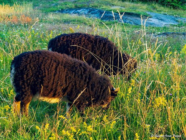 Cabras en Verdens Ende - Noruega, por El Guisante Verde Project