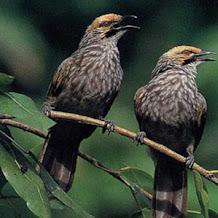 Cara Terapi Burung Cucak Rowo Yang Macet Bunyi