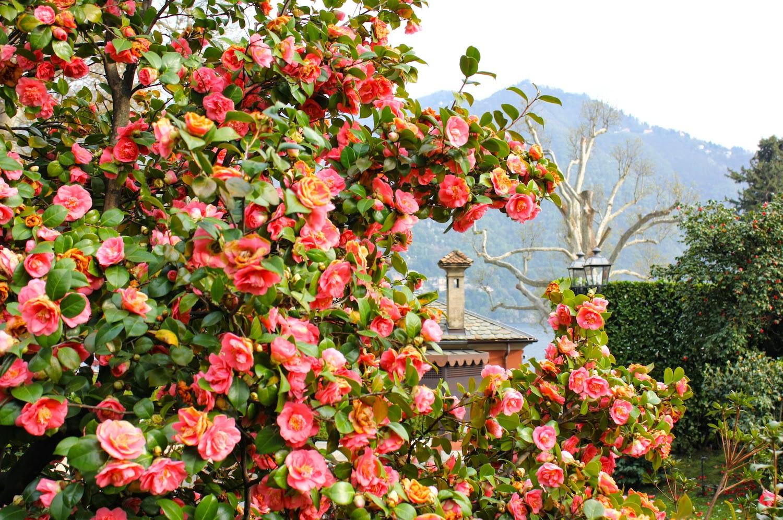 I fiori del Lago di Como: colori, profumi e tanta meraviglia - foto di Elisa Chisana Hoshi