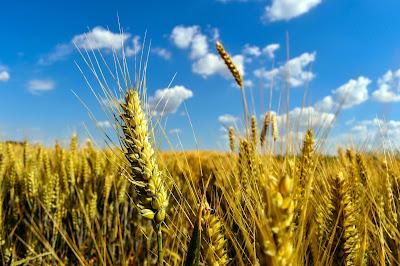 MSP of Wheat raise