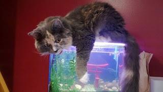 Gato sorprendido en pecera
