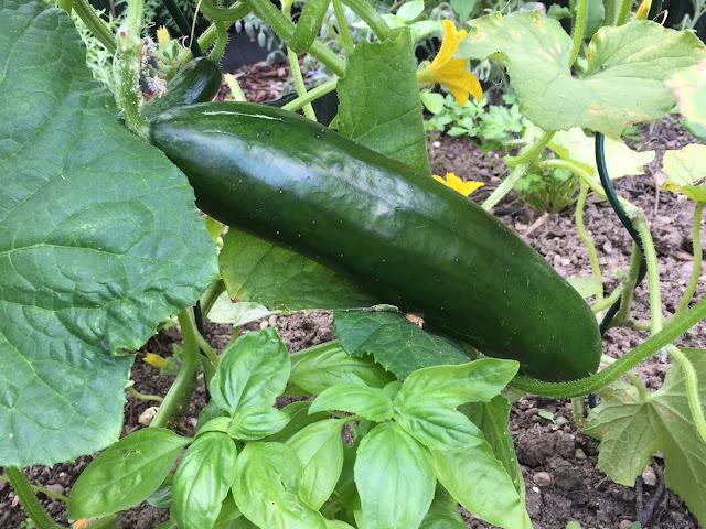 Gurke aus dem eigenen Gemüsegarten