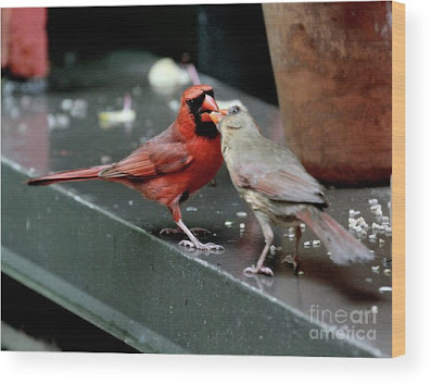 This is a screen shot of a photograph rendered on wood and available via Fine Art America. It features a male cardinal (left) feeding a female cardinal (right). Info re this print is @ https://fineartamerica.com/featured/cardinal-love-2-patricia-youngquist.html?product=wood-print
