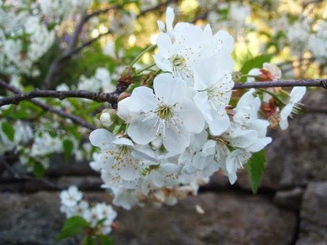 Flores de guindo