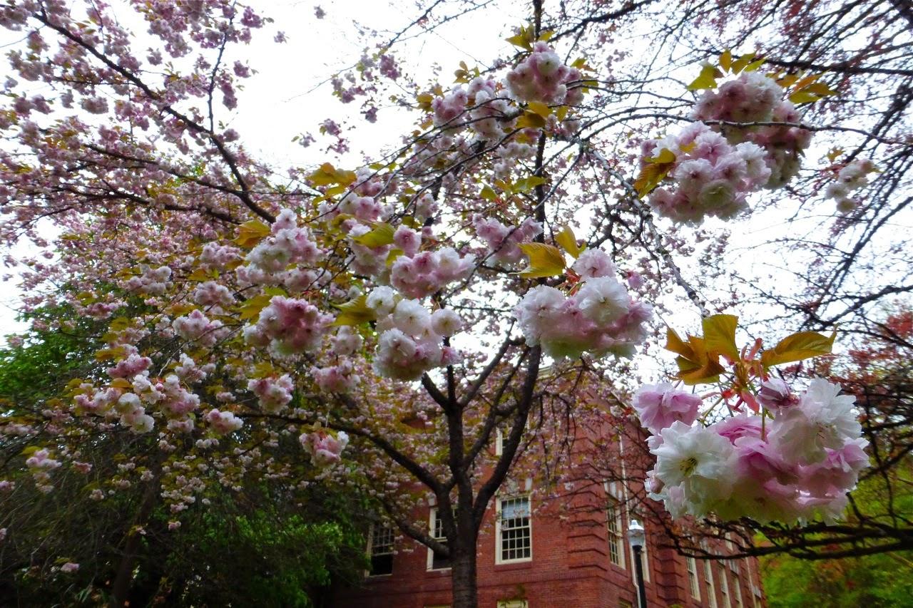 spring, spring blossoms, ornamental spring blossom, campus walk, spring campus walk