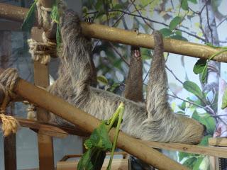 bradipo appeso ad un ramo