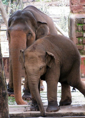 Asian Elephant, Elephas maximus, National Heritage animal of India,