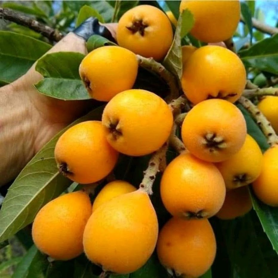 bibit buah leci kuning cangkok beli 2 GRATIS SATU Banten
