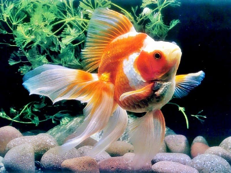 39. Jenis Ikan Hias Aquascape Goldfish