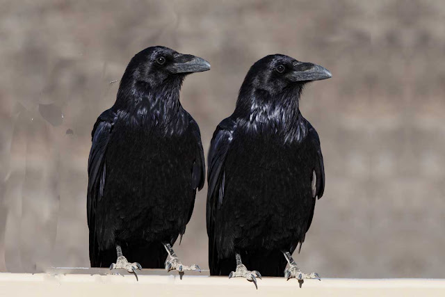 attempted murder of crows