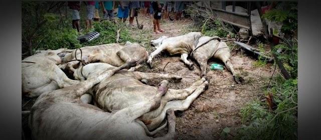 Carreta com bois tomba e vários animais morrem na BR-316 no Piauí