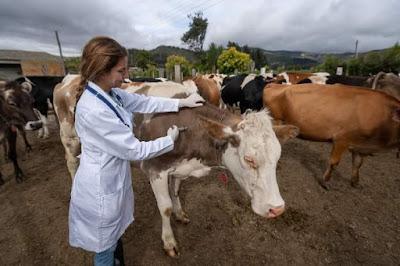 cow diseases