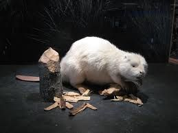 Beaver | A-Z List of 125 Rare Albino Animals [Pics]