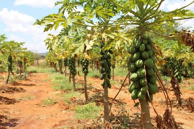 solo pawpaw farming in Kenya