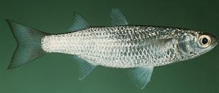 klasifikasi ikan belanak