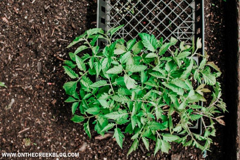 flat of tomato plants!