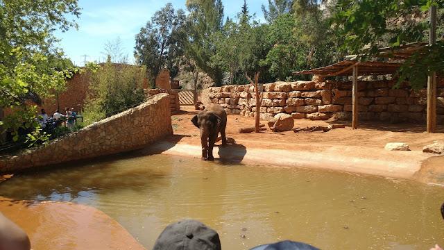 פיל שותה מים