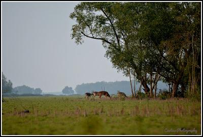 Deer in Nijhum Forest, Deer in Nijhum Island, Nijhum Dwip, Nijhum Island Hatia, Trip Navigation Bangladesh, Nijhum Dwip Travel Guide