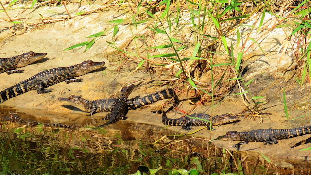 Pod of Baby Alligators Guarded by Mother