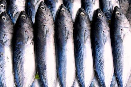 Klasifikasi Ikan Tongkol dan Morfologi Ikan Tongkol (Euthynnus affinis)