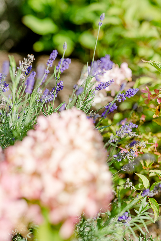 Mein Garten im September, Pomponetti