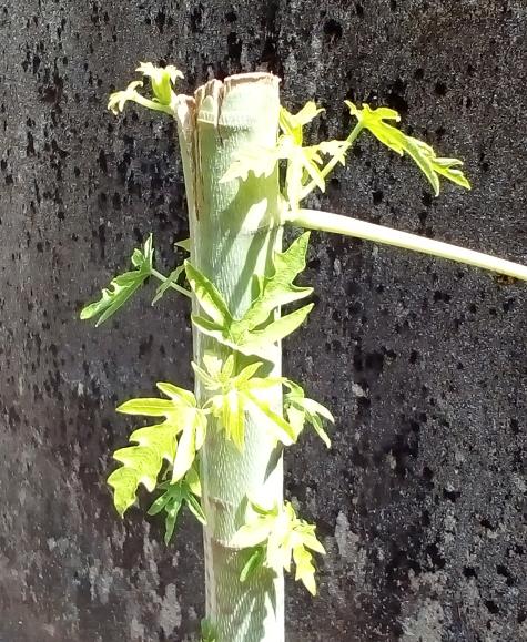 pokok betik tunas