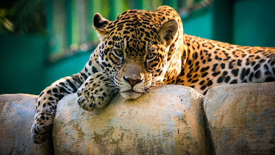 jaguar-chitah-wallpapers-images-hd-collection