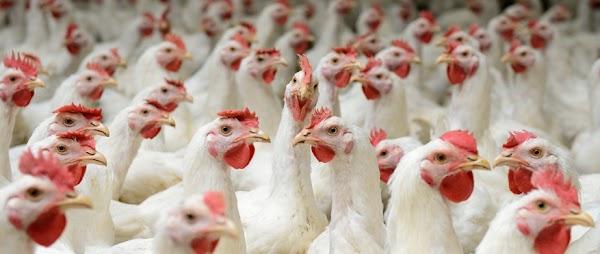 Tantangan Dalam Usaha Peternakan Ayam Broiler