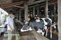 wisata susu cibugary