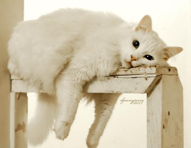 Bored White Cat
