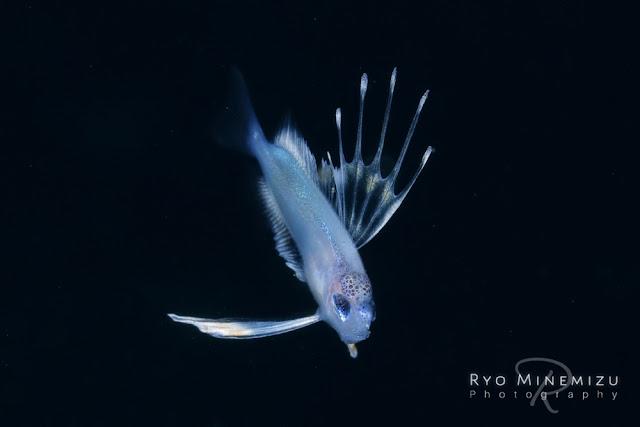 Larval-fish of Spinyfin velifer,ヒメクサアジの稚魚