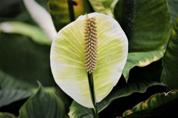 Learn about houseplants that attract happiness