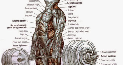 Exercise Science And Fitness Training The Deadlift