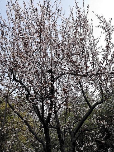 大きな公園に咲いた梅の花